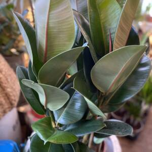 Dark glossy green leaves of the Rubber Plant. A 70s favourite also known as Ficus Elastica Robusta