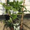 SMALL JASMINE PLANT ON FRAME