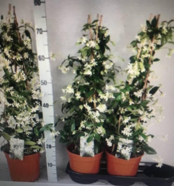 Scented outdoor jasmine web-shop image