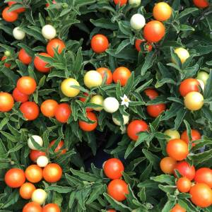 Orange berry Solanumn plants great for autumn pots