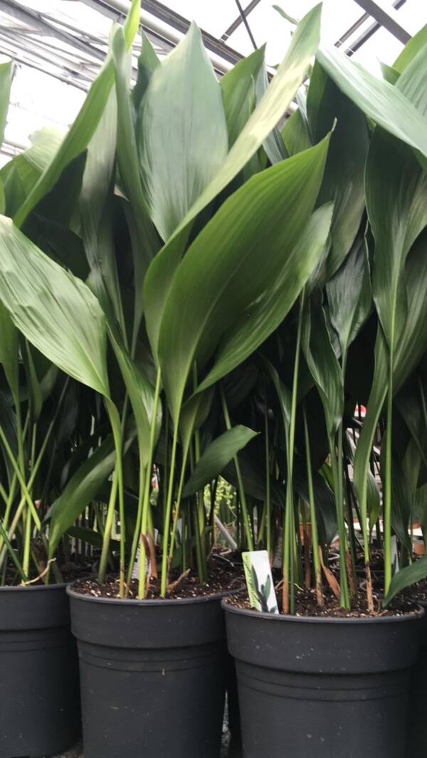 MEDIUM ASPIDISTRA APPROX 1M TALL FOR SALE ONLINE AND INSTORE AT 92 MILL LANE NW6 1NL West Hampstead