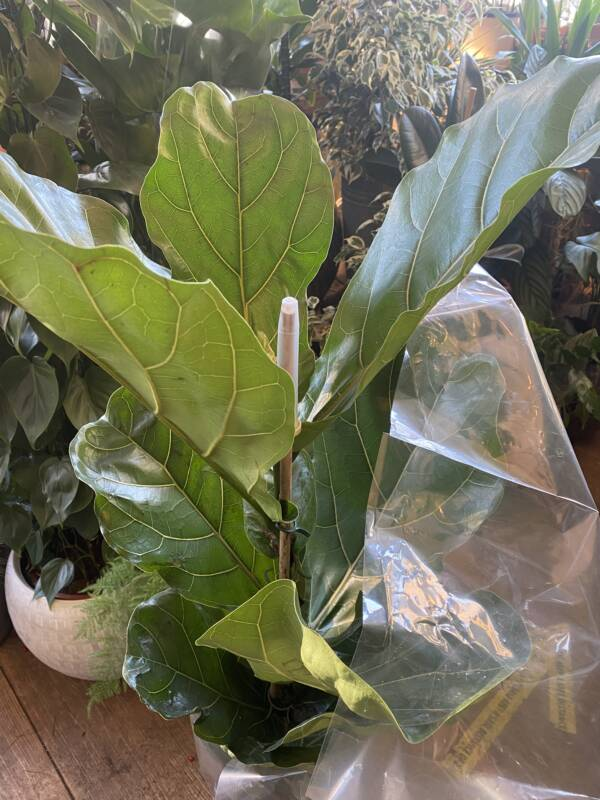 Large green spanning leaves of a stylish interior plant, the Ficus Lyrata also know as the Fiddle Leaf Fig