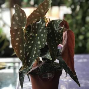 Polka Dot Begonia Maculata