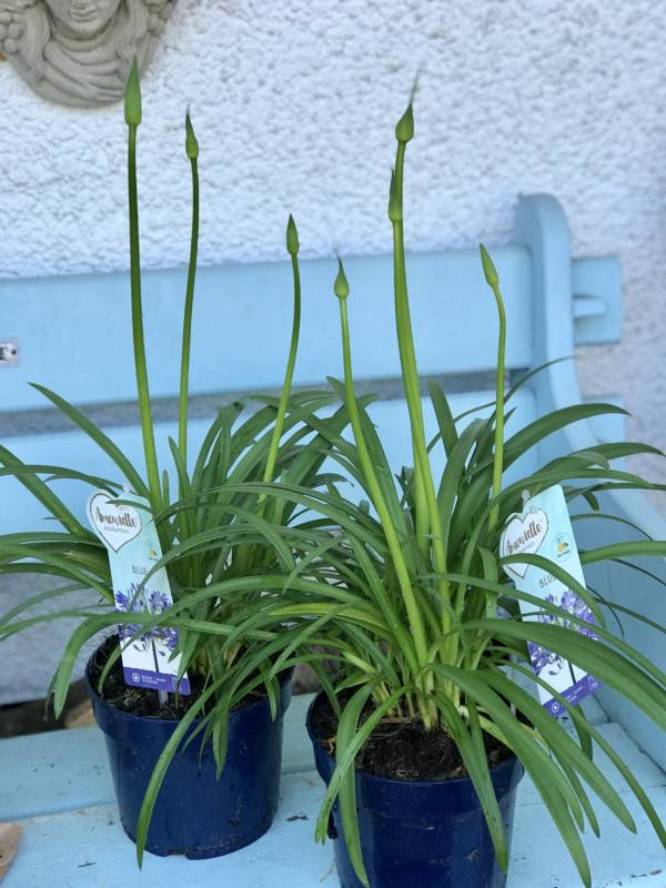 BLUE AGAPANTHUS PLANTS IN BUD