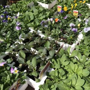 English grown bedding plants in polystyrene containers