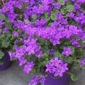 Campanula portu. purple flowering semi-evergreen