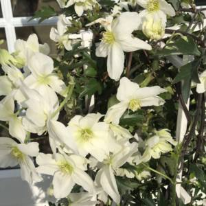 SPRING FLOWERING EVERGREEN CLEMATIS WITH LOVELY WHITE/CREAM FLOWERS