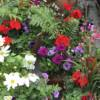 Summer flowering bold coloured planting. Container gardening by Holly and Nikki In the Garden. Plant shop and garden store in West Hampstead and Notting Hill