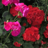 Clashing coloured red and cerise summer flowering geraniums. Sold online and in store in West Hampstead