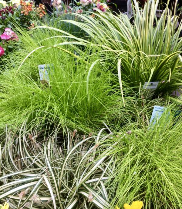 Outdoor container grasses in lime green and variegated leaf
