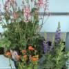 Huechera, orange Gum and blue flowering Salvia plants for the garden. For sale