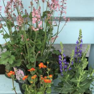 Huechera, orange Gum and blue flowering Salvia plants for the garden. For sale