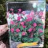 Perennial pink garden geranium