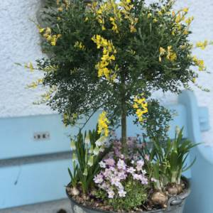 Spring container garden in a vintage galvanised bucket. Yellow flowering Ginesta tree and spring bulb combination