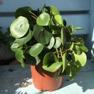 LARGE CHINESE MONEY PLANT FOR SALE IN LONDON AND HERTFORDSHIRE