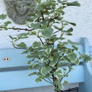 Small climbing hydrangea with a variegated leaf