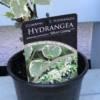 Climbing Hydrangea product label