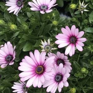 Pink summer flowering daisy for pots and window boxes