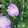 PINK FLOWERING SCABIOSA PLANT