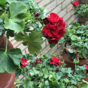 Red trailing Geraniums planted in terracotta chimney pots