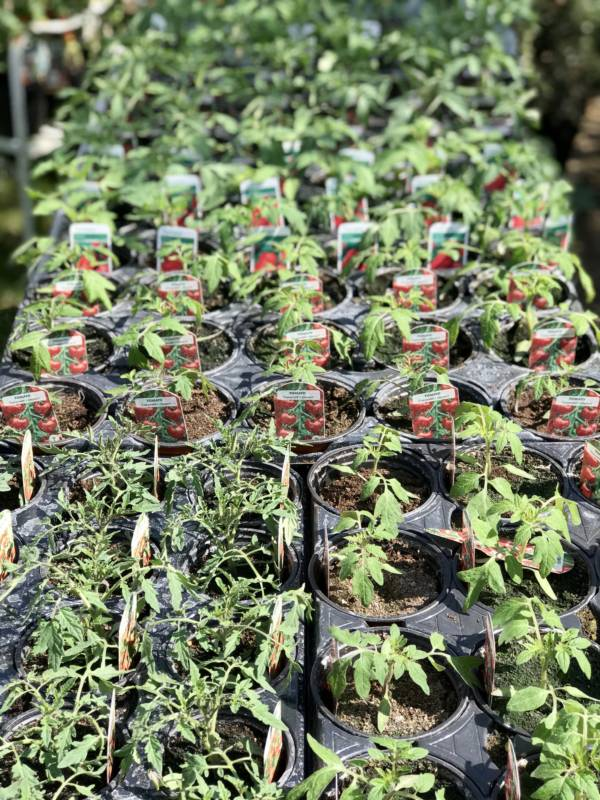 English grown tomato plants for sale from Holly and Nikki