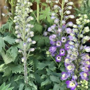 BLUE FLOWERING COTTAGE PERENNIAL PLANT CALLED DELPHINIUM