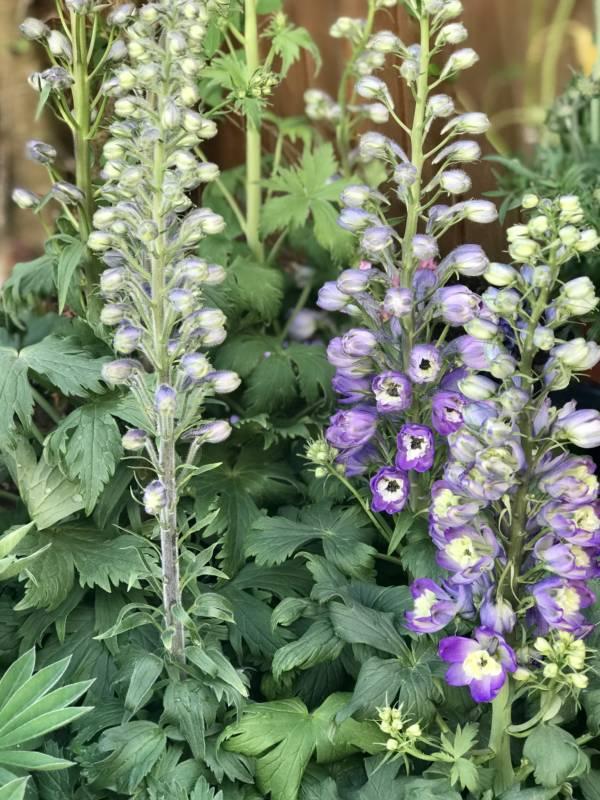 BLUE FLOWERING COTTAGE PERENNIAL PLANT CALLED DELPHINIUM