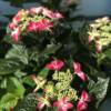 Red Hydrangea plant for sale. Suitable for garden borders and pots