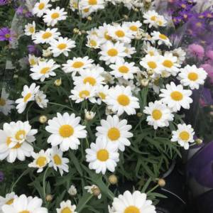 Summer annual daisy plants for pots and containers