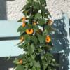 A SUMMER FLOWERING CLIMBER WITH A BOLD ORANGE BLOOM. FUN AND FABULOUS. IN A SUNNY SPOT!