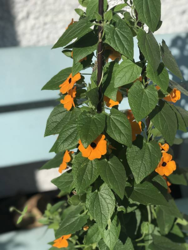 orange climbing plant with a black centre. It flowers in the summer