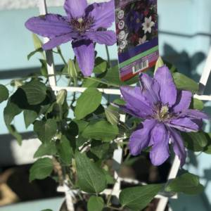 BEAUTIFUL SUMMER FLOWERING CLEMATIS IN A STONG PUPLE. BIG BLOOMS