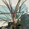 GREAT STRUCTURE FOR THE GARDEN IN BORDERS AND POTS. CORDYLINE FOR SALE WITH A PINK STRIPE IN THE MIDDLE