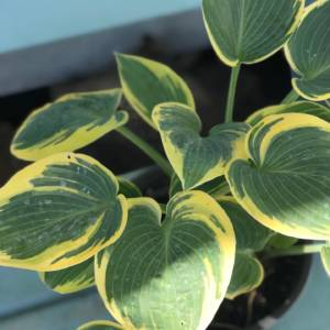 VARIEGATED HOSTA PLANT ON BLUE BENCH