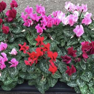 Mixed outdoor Cyclamen for sale