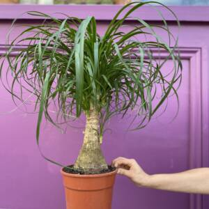 Nolina plant other known as the Ponytail Palm. For sale at 92 Mill Lane, West Hampstead, NW6 1NL