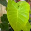 Large lime Xanthosoma leaf. Vibrant and great shaped indoor house plant, must have