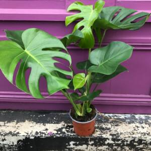 medium sized Monstera plant with lush dark green leaves spanning wide