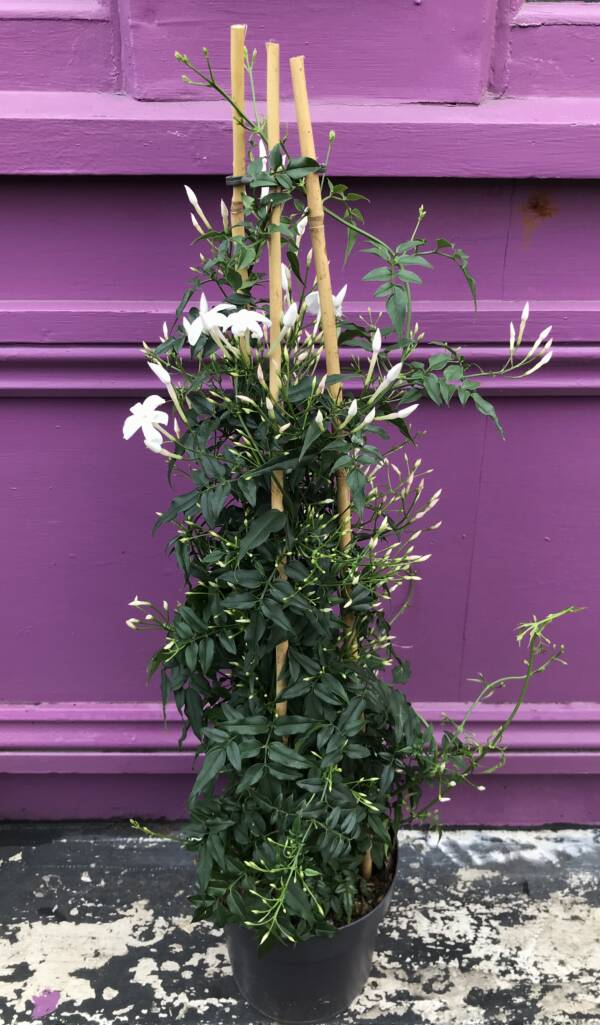 LUSH GREEN FOLIAGE WITH A PRETTY WHITE FLOWER. AN INDOOR PLANT WITH A GREAT PERFUME
