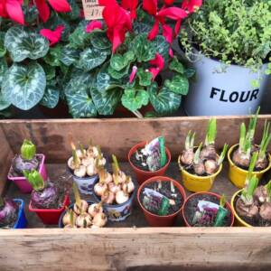 Hyacinths, narcissus tete a tete, muscari and a whole lots of joy for planting at home or in the garden