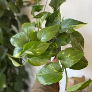 great indoor trailing plant suitable for hanging on the ceiling of off shelves