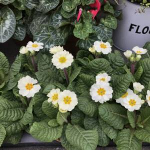 PRIMULA ELATIOR SPRING BEDDING FOR BORDERS AND CONTAINERS