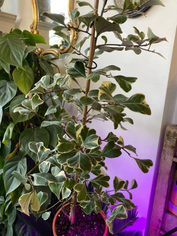 Variegated indoor house plants, only 6 plants available. Ficus Sweetheart is the perfect unusual gift for Valentines Day