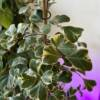 Rare indoor house plant available in West Hampstead family shop. Ficus Triangularis Sweetheart variegated