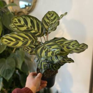 Indoor houseplant to buy and collect from 92 Mill Lane, NW6 1Nl