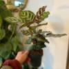 Calathea Makoyana full view, great shelf plant