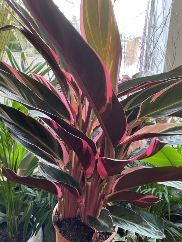 CALATHEA TRIOSTAR BRIGHT AND VIBRANT INDOOR PLANT AT LONDON PLANT SHOP IN W10 AND NW6