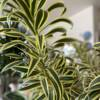 A close up of the stunning leaves of the Song of India Dracaena. Click and Collect or delivery available from London NW6.