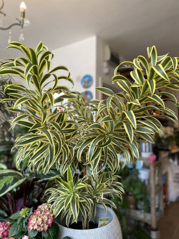 A beautiful yellow and green variegated large branching Dracaena Variety, Song of India. Available in Notting Hill, Golborne Road, Potobello and West Hampstead