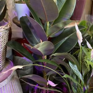 QUALITY AND HANDPICKED HOUSE PLANTS FOR SALE IN FAMILY RUN PLANT SHOP IN WEST HAMPSTEAD AND GOLBORNE ROAD